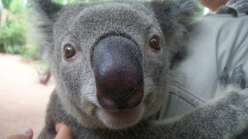 Up close and personal with the Koala