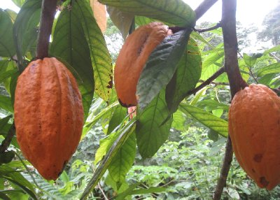 We visited Bribri to meet some indigenous Tico&#39;s who make chocolate from the local cocao plant.