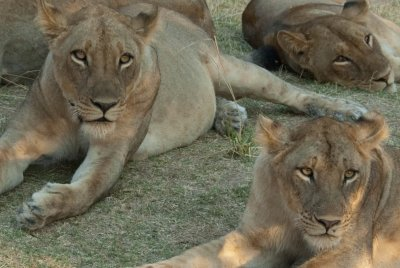 These lionesses could have easily jumped into our doorless and windowless truck and eaten a few people, but they didn't want us.