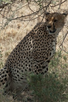 A Serengeti cheetah is the fastest land animal and is even more elusive than the Leopard.