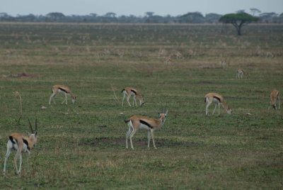 Gazelles are everywhere in the Serengeti. They fill fields as far as the eye can see.