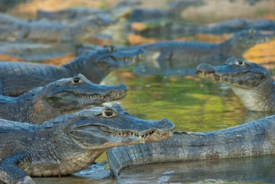 There are more caiman than people in the Pantanal. During the dry season there are piles of them lounging around pockets of water. Thankfully they are not aggressive towards humans like the crocodiles in Australia.