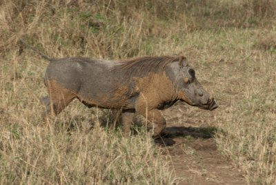 The warthog was definitely hit by the ugly stick.