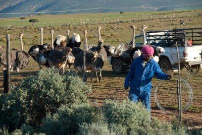 Oudtshoorn osterich farm