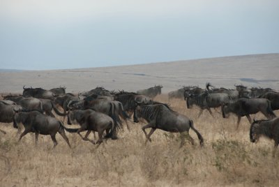 We didn't see too much action on these safaris. The exception was when a few hyenas were pestering these wildebeests. They decided to herd together into a collective charge with the young ones in the middle to scare off the hyenas.
