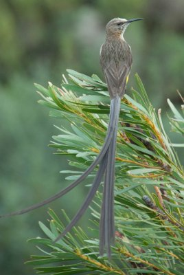 Long Tail Sugarbird