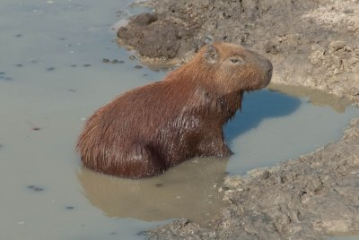 The swamp rat or capybara is the largest rodent in the world.