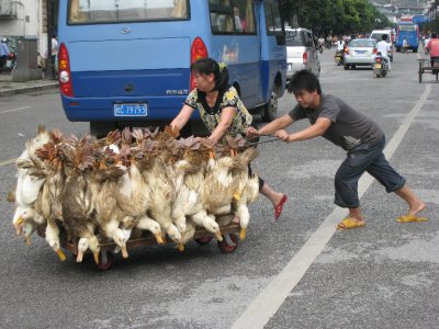 Dinner. China just passed it's first animal rights law while we were visiting. Sadly, a little late for these geese.