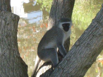 Port Alfred, monkey