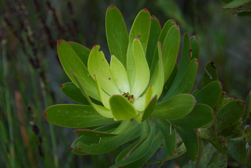 Hermanus, green flower