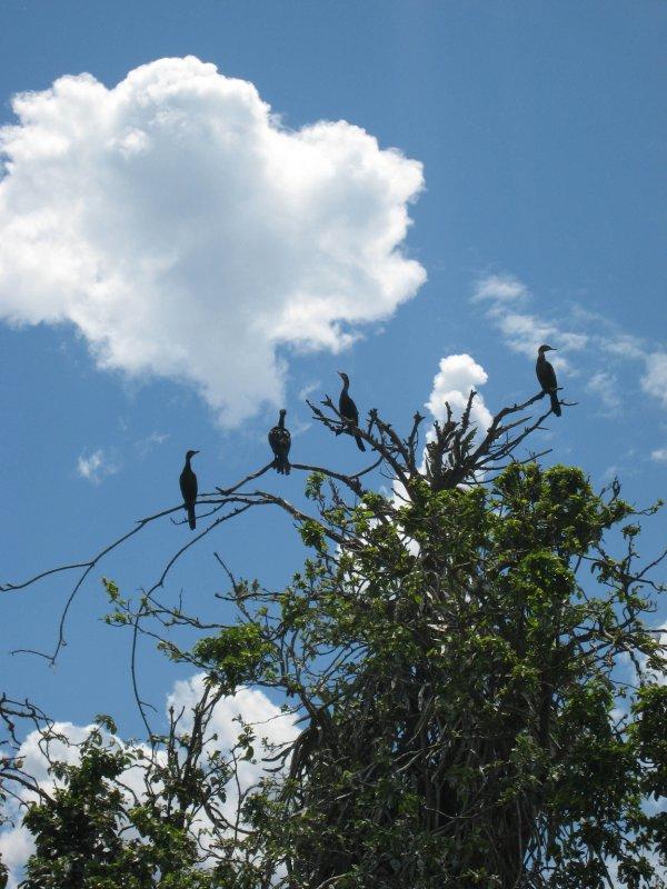 Paraty birds in mangrove