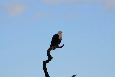 Fish_Eagle.jpg