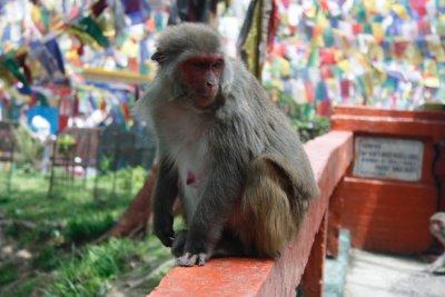 Monkey_Darjeeling.jpg