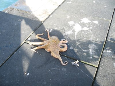 Octopus I caught! It was massive, threw it back, didn't know how to cook or kill it!