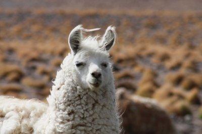 Wind_swept_Llama_.jpg