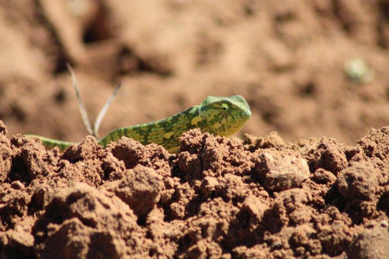 Flat Neck Chameleon
