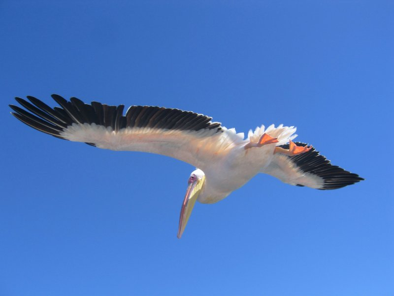 Pelican at Walvis Bay