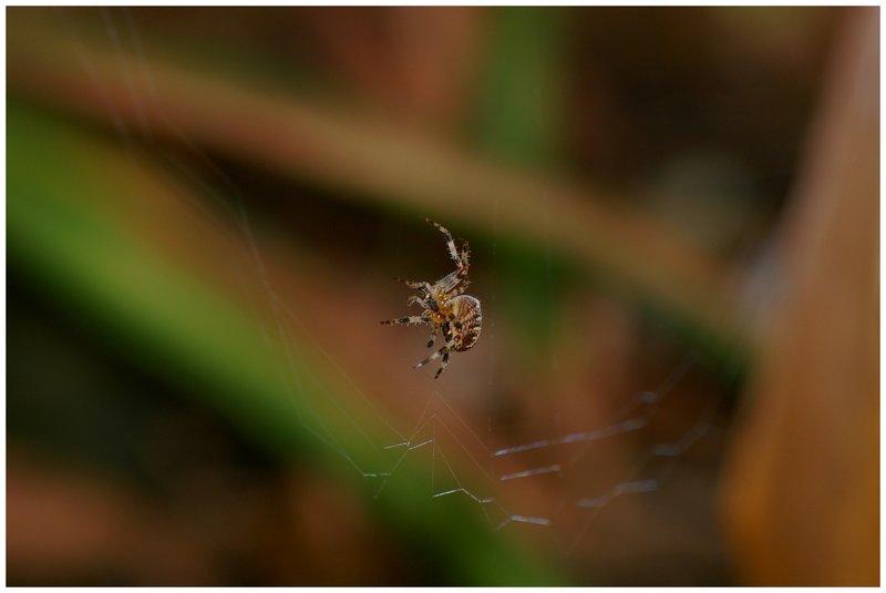 Garden Spider..