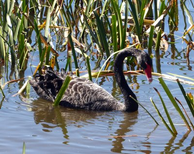 Black_Swan.jpg