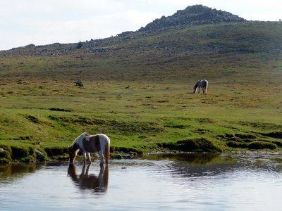 Dartmoor_Ponies.jpg