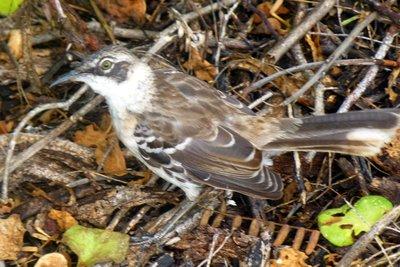 Galapagos_bird.jpg