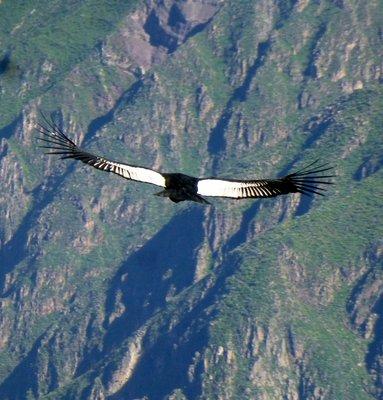 Condor in flight 5