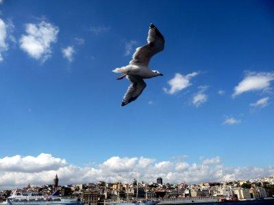 Seagull_over_Istanbul.jpg