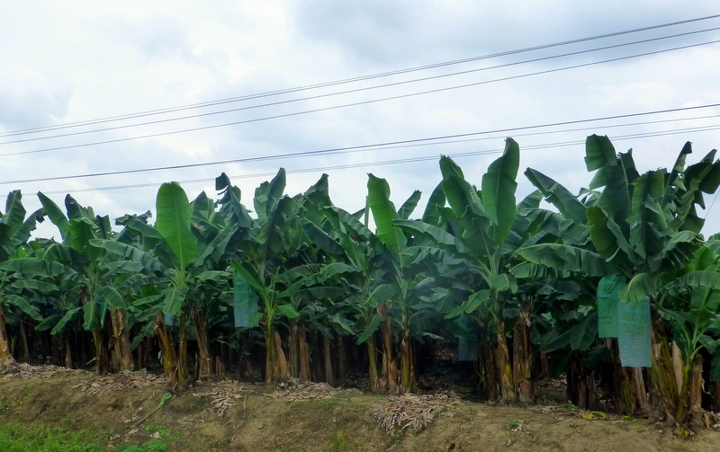 large_Banana_Plantations.jpg