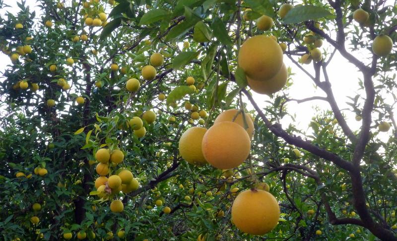 large_Calabrian_oranges.jpg