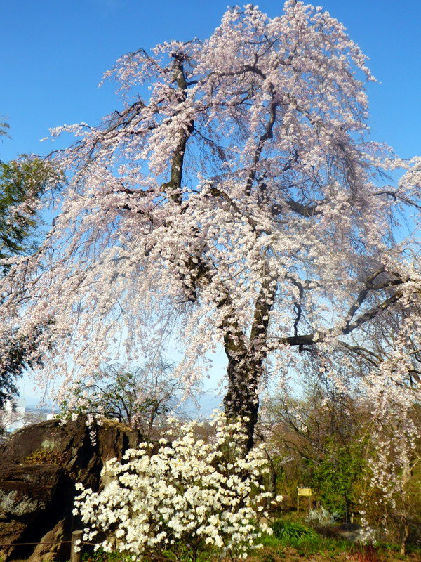 large_Cherry_Blossoms_at_Temple.jpg