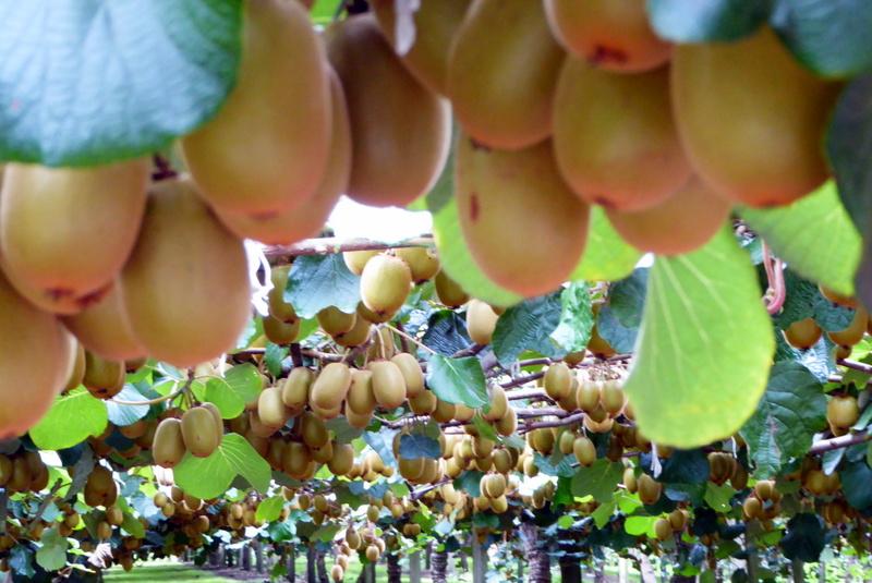 large_Kiwi_fruit.jpg