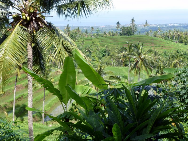 Rice paddies in Northern Bali