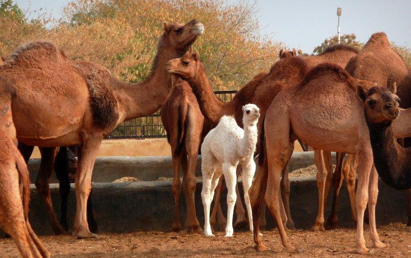 large_Rasjathani_camels.jpg