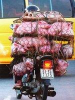 Dozen_pigs_in_cages.jpg