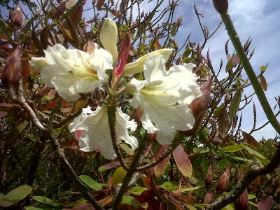 The rhododendrons were coming into bloom.