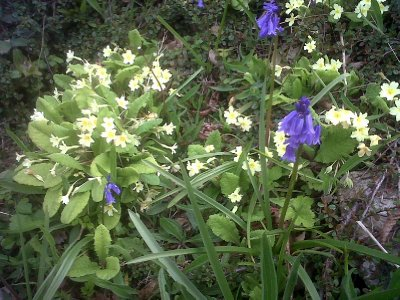 Although the weather was very cold, the bluebells and primroses were in bloom.