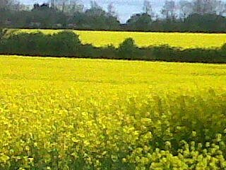 Canola blooms look as if God has taken a fluorescent marker pen to colour the landscape.