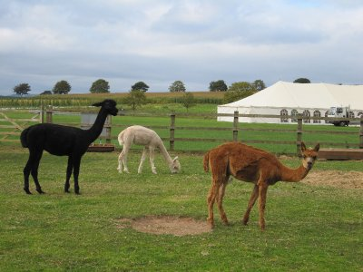 While David was busy at the garage, Sandi found lovely llamas, in an opposite field, to photograph.