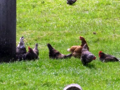 The happy hens who supplied the eggs for our breakfast