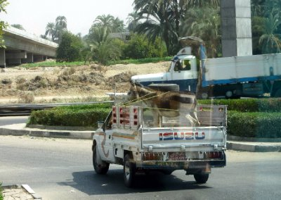 Sometimes the donkeys are lucky enough to get a ride too!