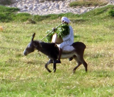 Donkeys really are beasts of burden in Egypt!