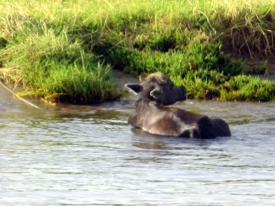 Water buffalo cooling off.