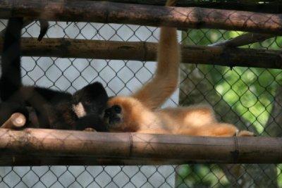 gibbons.jpg