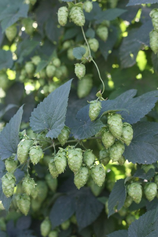 Hops @ Yakima Valley