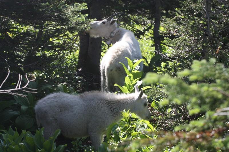 Mountain goats @ Glacier National Park