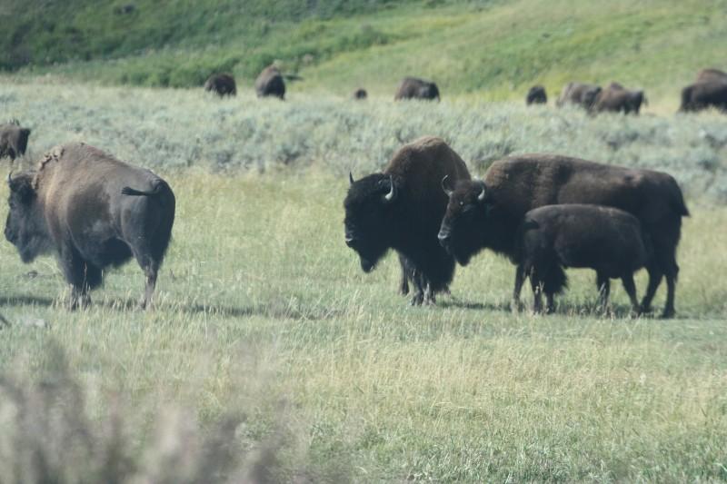 Buncha bison