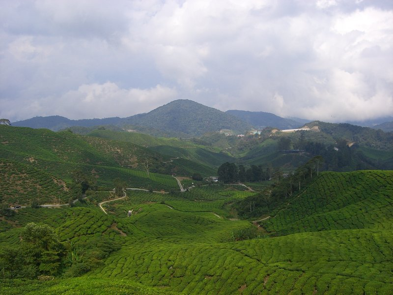 Neverending Tea Plantations