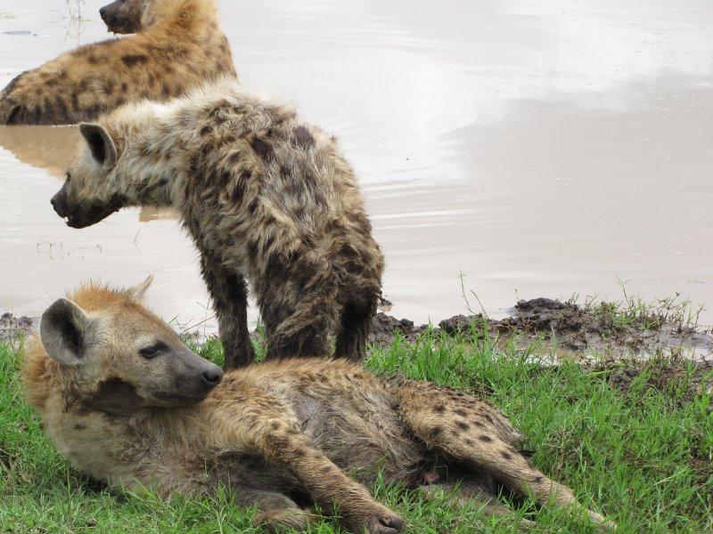 Hyena 5