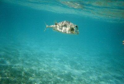Snorkeling - Puffer Fish