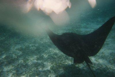Snorkeling - Tiger Ray